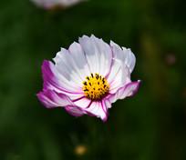 紫色花边的格桑梅朵