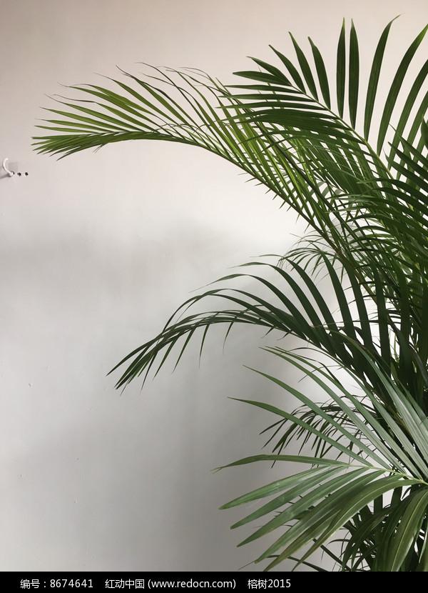富贵椰子一盆叶尖发黑图片