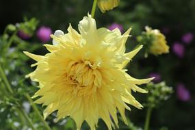 黄色盛放大丽菊