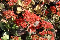 马齿苋科植物太阳花