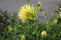 盛放大丽菊花朵