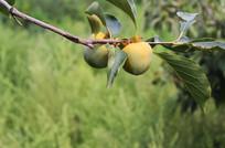 枝头生长的柿子