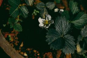 草莓的花儿
