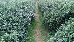 茶园里面的小路
