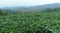 高山上的茶园