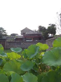 老北京住宅区种植的荷叶