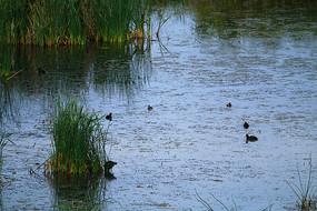 湿地湖泊野鸭