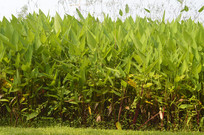 水景绿化植物