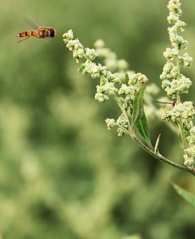 小昆虫和灰灰菜花蕾
