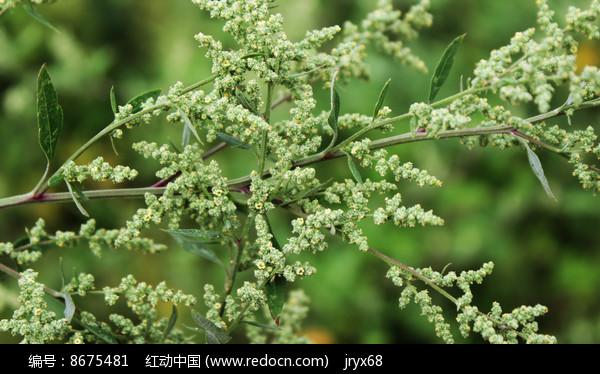 野生灰灰菜秋季花穗图片
