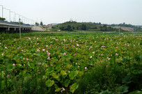 贵安新区高山莲种植