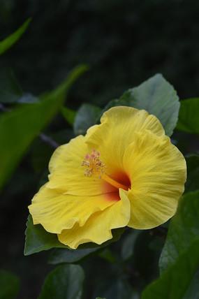 黄色扶桑花