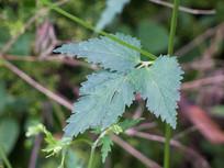 伞形科植物异叶茴芹
