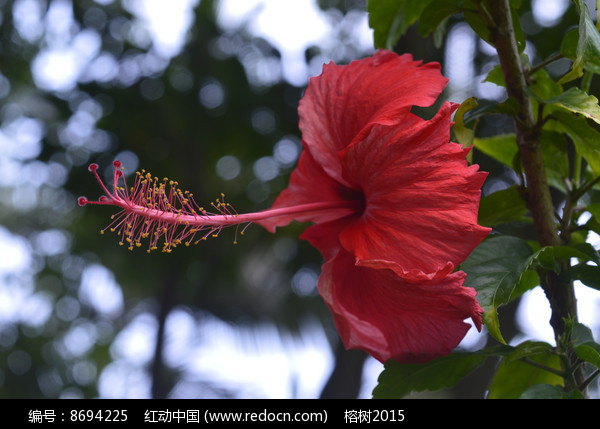 四季开花的红扶桑图片