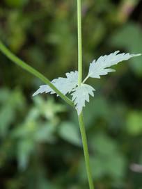 药用植物异叶茴芹