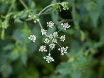 异叶茴芹白色花朵