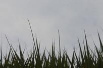 棕榈科植物