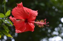 大红花近拍摄影图
