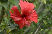 大红花摄影背景图