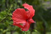 大红花摄影素材图