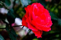 红玫瑰花朵特写