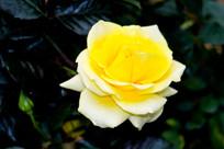 黄玫瑰花朵