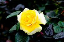 黄玫瑰特写