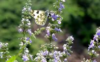 荆芽花和蝴蝶