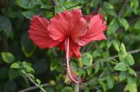 绚丽的红扶桑