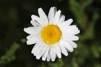 白色小菊花花朵