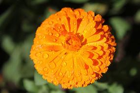 橙色的百日菊花朵