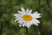 带露水的野菊花花朵