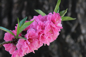 粉红的桃花花枝