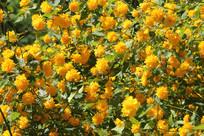 黄色小黄花花丛