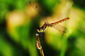 花上的蜻蜓