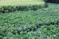 绿油油的冬青树叶