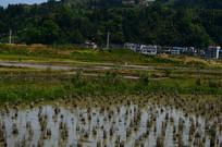 收割后的水稻田