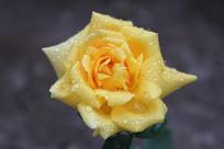 带露水的淡黄色月季花朵