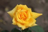 带露珠的黄色月季花花心