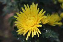 淡黄色色的菊花