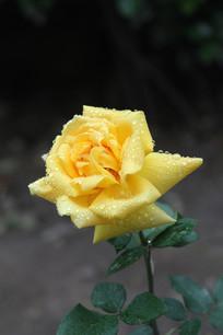 淡黄色月季花花心