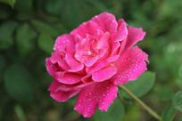 粉红花瓣的露水月季花
