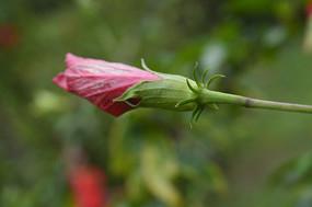 扶桑花苞摄影图