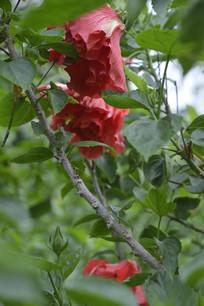 花丛中的重瓣扶桑花