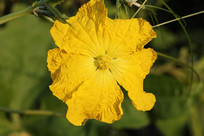 黄色的冬瓜花