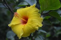 黄色花瓣红色花心朱槿