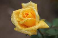 黄色露珠月季花