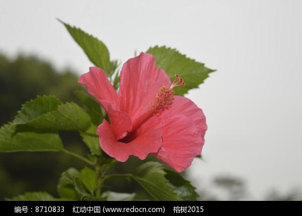 花色艳丽的大红花图片