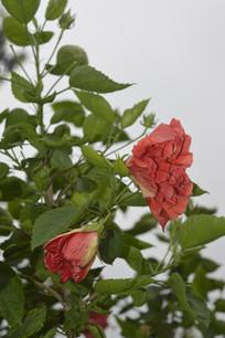 两朵重瓣扶桑花朵