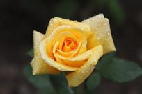 盛开的露水黄月季花